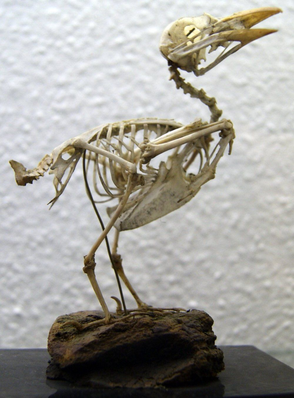 Skeleton of a Seagull | Animal Skeletons | Pinterest