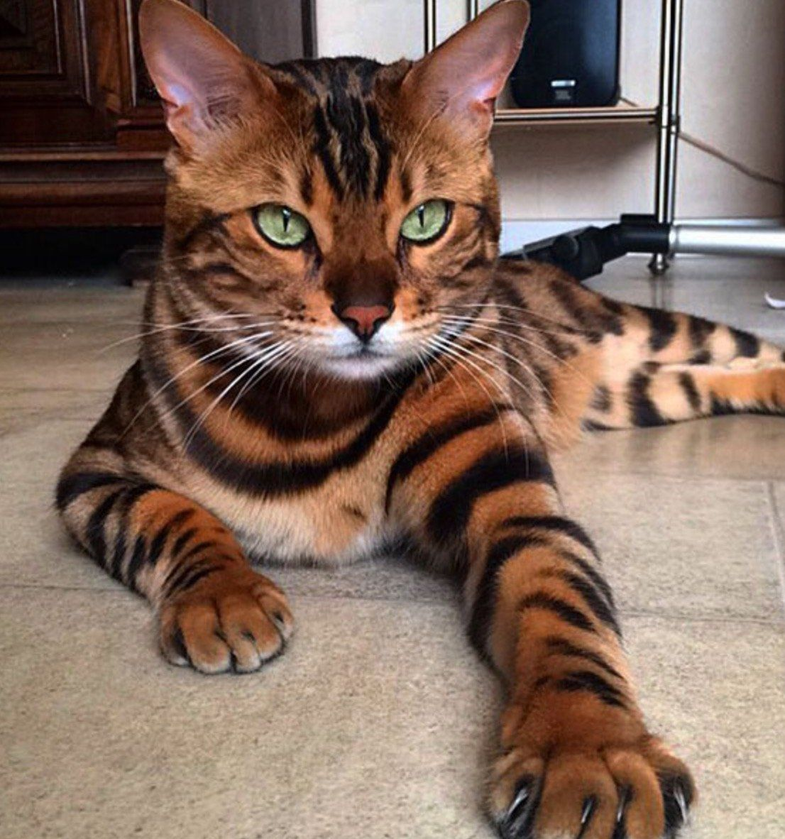 Thor The Bengal Cat Cats Cute Animals Kittens