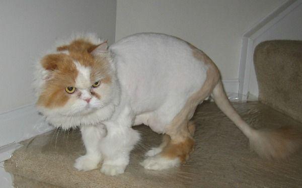 Persian Cat Groomed Like Lion