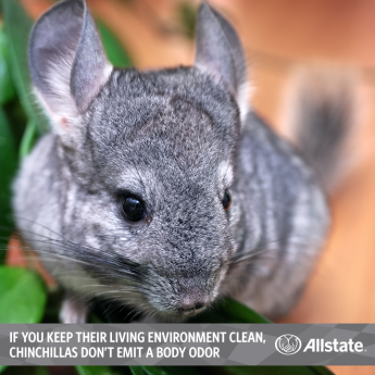 6 Pets Appropriate For Apartment Living Chinchilla Pets Pet Rodents