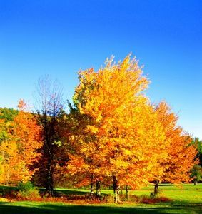How To Care For Silver Maple Trees Ehow Maple Tree Landscape Silver Maple Tree Maple Tree