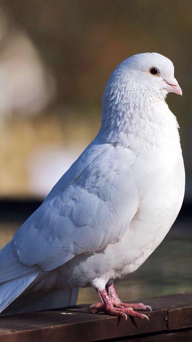 Pin By Gail Lester Salyer Renew D Des On Bird White Pigeon Pigeon Bird Bird Wallpaper