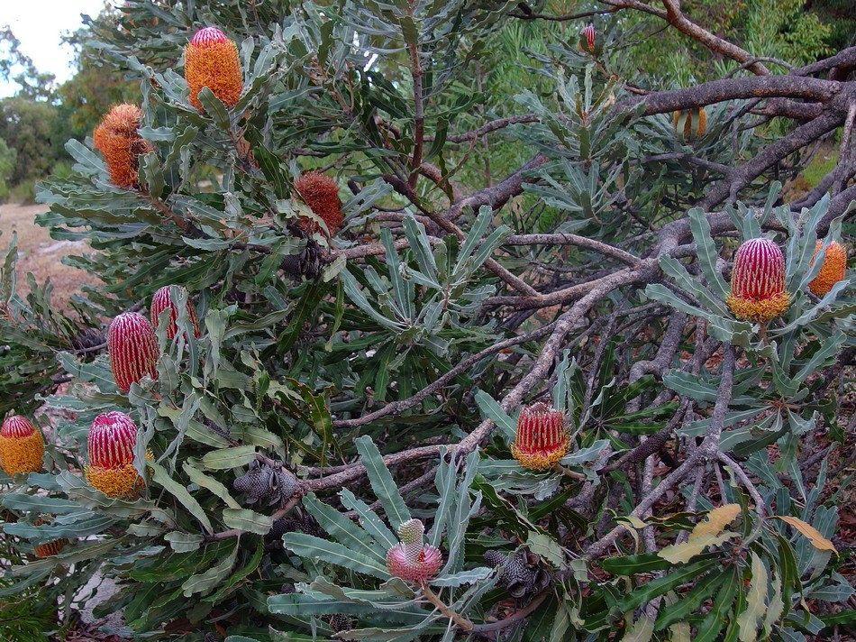 Mx1p2486cs Australian Wildflowers Australian Trees Trees And Shrubs
