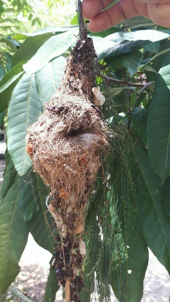Real Genuine Olive Backed Sunbird Nest Nature Bird House