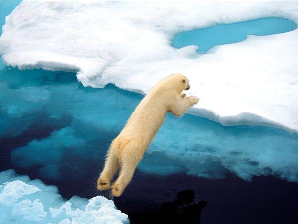 Polar Bear jumping in the Arctic.