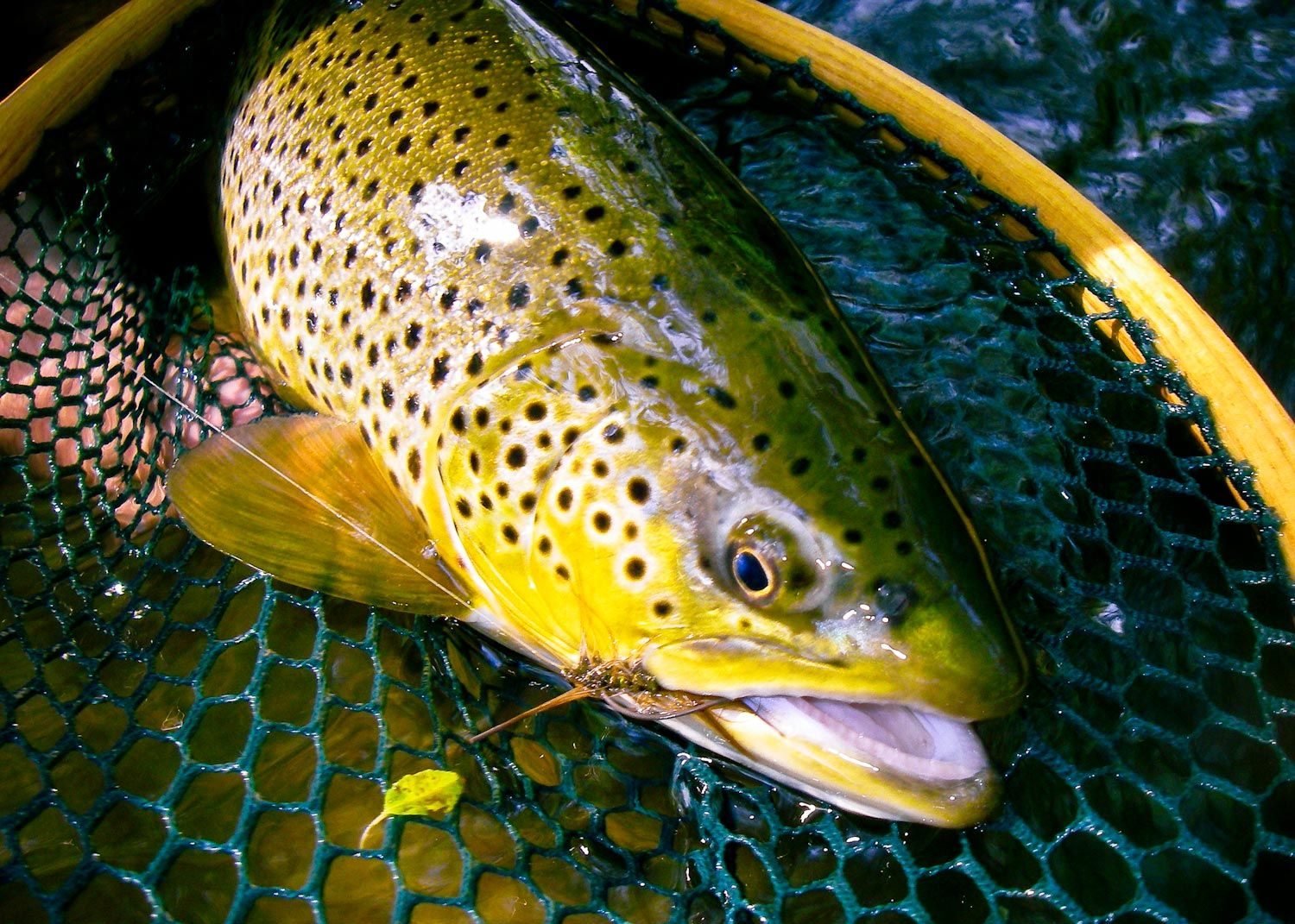 17 best images about brown trout on pinterest | montana, utah and, Fly Fishing Bait