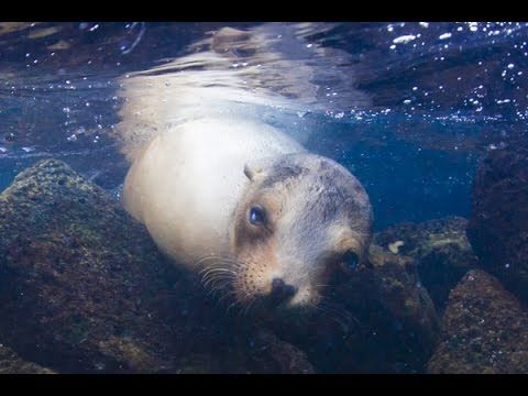 Snorkelling with Galápagos sea lions  Read more: http://www.traveltherenext.com/adventure/item/665-best-snorkeling-spots-in-the-galapagos-islands-ecuador  #visitecuador #galapagos #sealion #youtube #video #snorkeling #adventure #travel #fun #traveltherenext