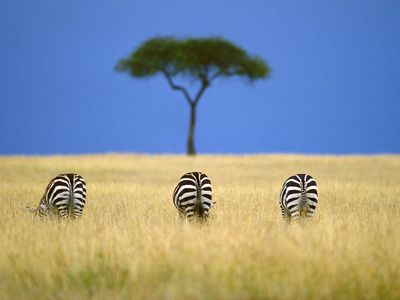 Image result for zebra in masai mara