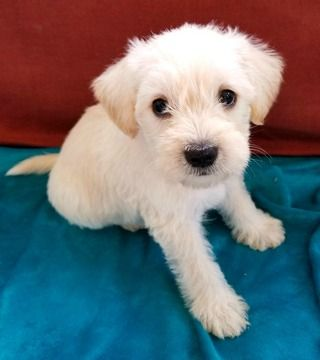 Schnoodle Miniature Puppy For Sale In Toccoa Ga Adn 45004 On