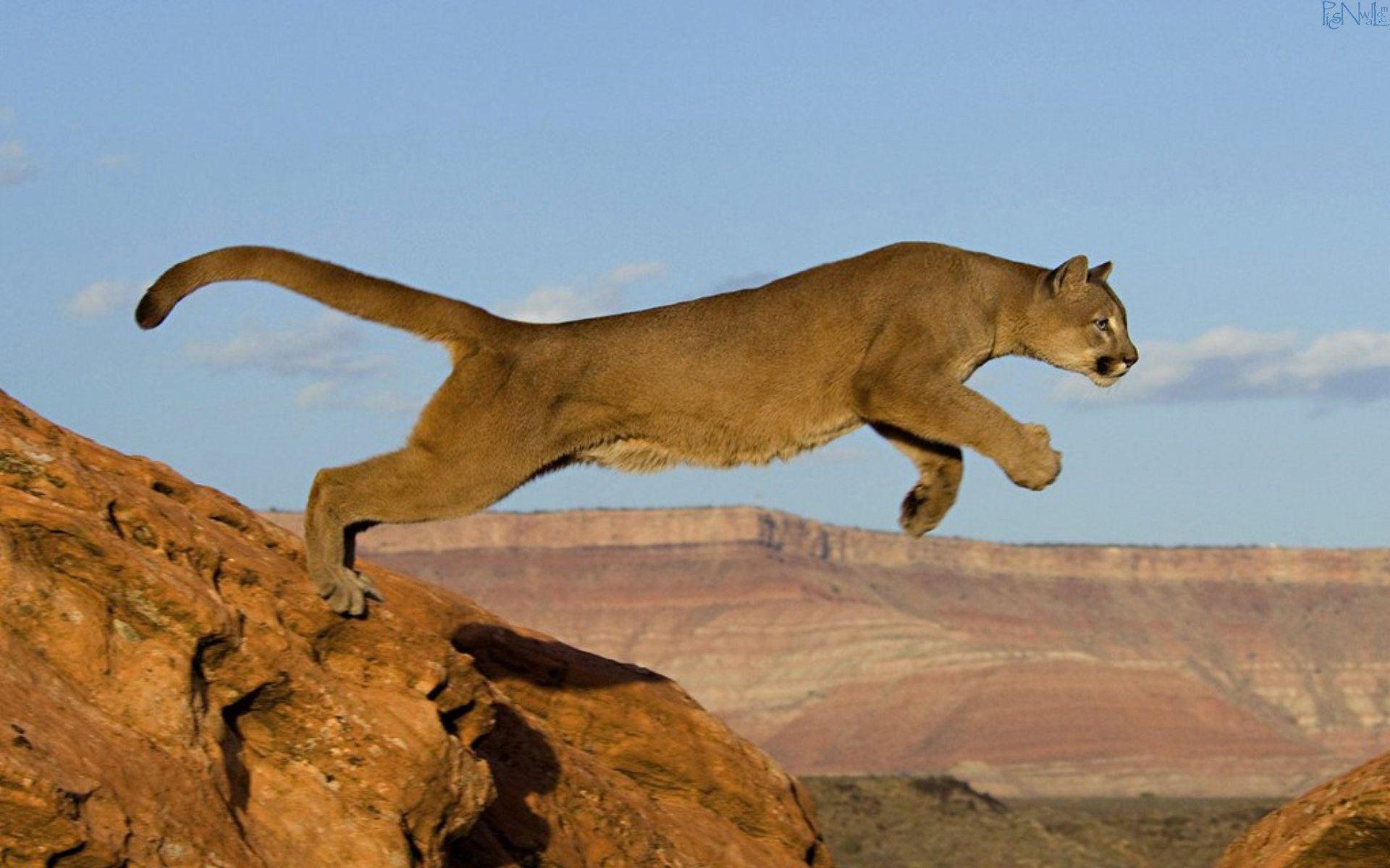 B Mobile Mountain Lion Mountain lion run | Li...