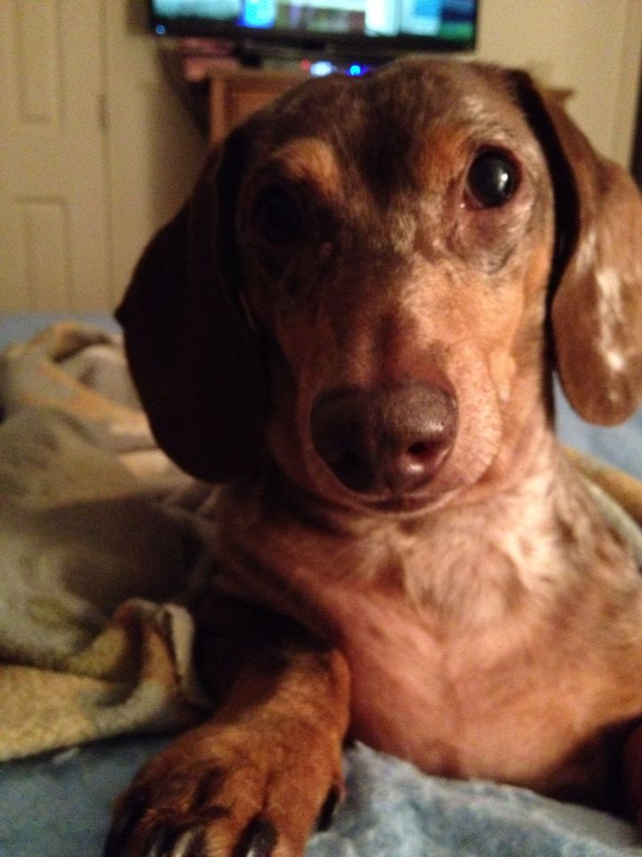 My Doxie Clark Kent With Images Doxie Clark Kent Dogs