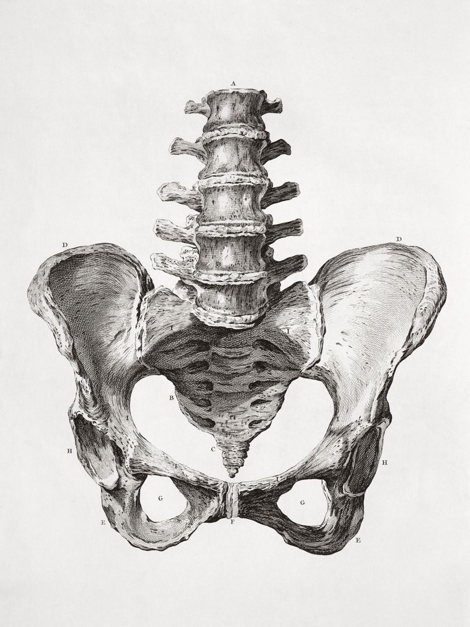 human male pelvis bone scientific illustration | Reference Photos ...