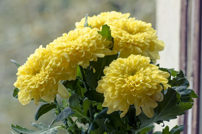 Chrysanthemum Flower Meaning Flower Meaning Chrysanthemum Flower Flower Meanings Chrysanthemum