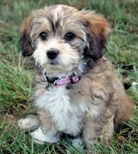 Lhasa Poo Lhasa Apso Poodle Mix Info Temperament Puppies Pictures Poodle Mix Cute Dog Collars Dog Breeds Little