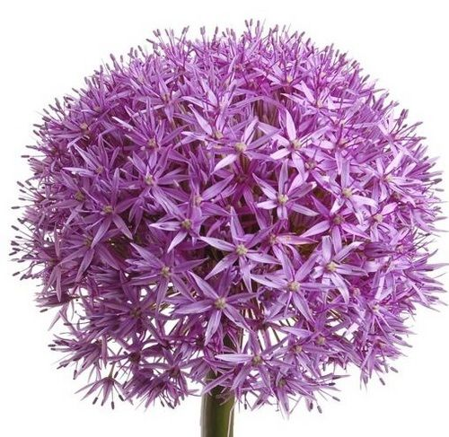 Allium Types Of Flowers Flower Show Flowers