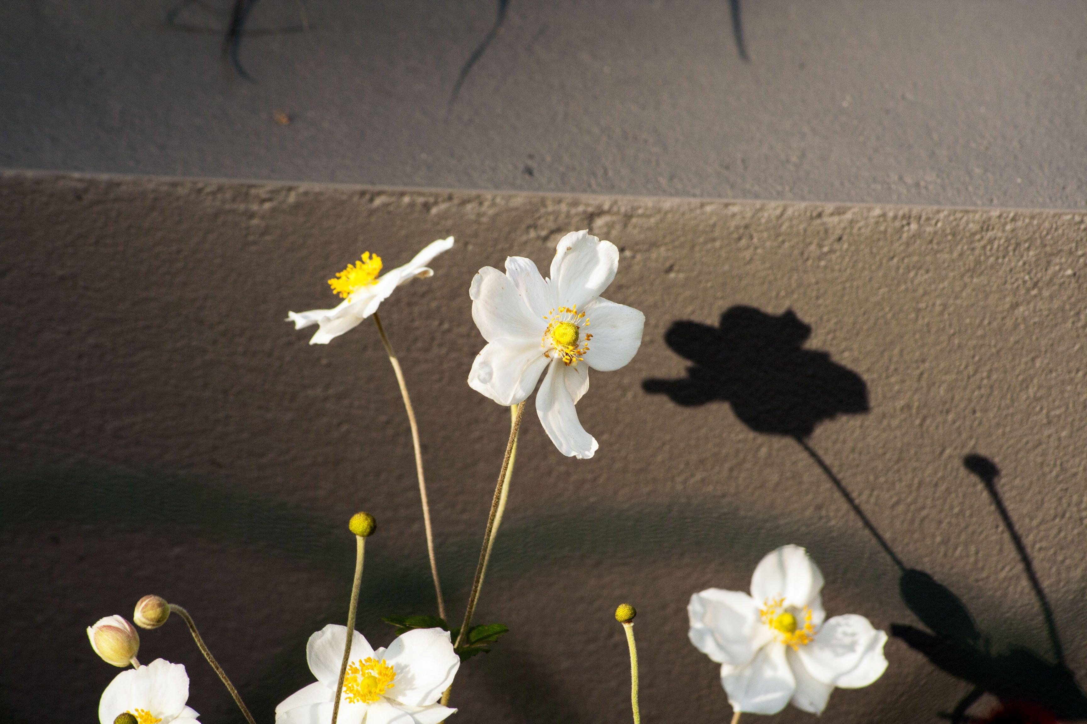 Anemone Honerine Jobert | MAOD Tuinontwerpburo | Voortuin om in te zitten
