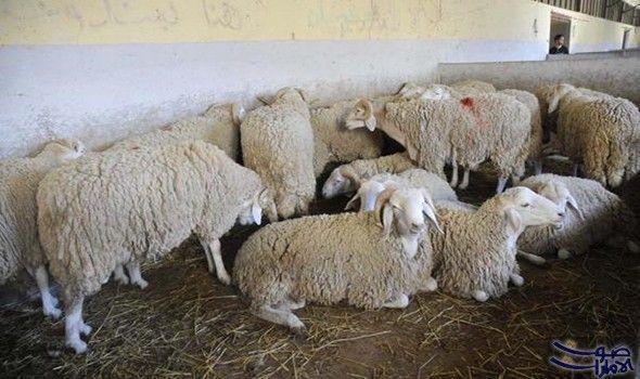 كبش العيد يجبر العائلات المحتاجة على بيع أثاث المنزل أو اللجوء الى القروض مع اقتراب عيد الأضحى الذي لا تفصلنا عنه سوى أيام قليلة يبدأ Animals Lamb