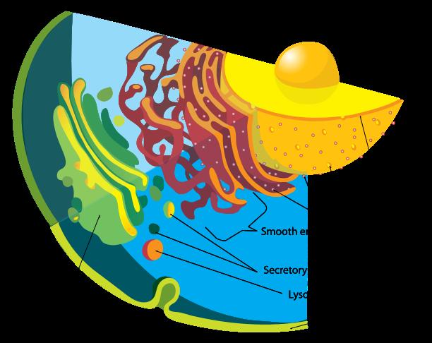 Endomembrane system diagram en Eukaryote Simple