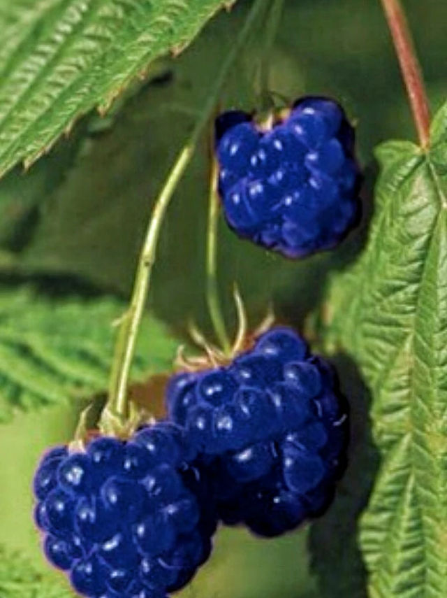 a blue raspberry in 2018 fruit fruit pinterest raspberry