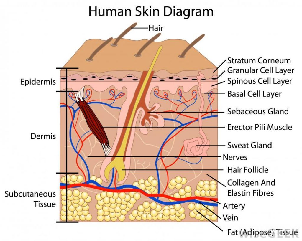 Human Skin Cells Labeled