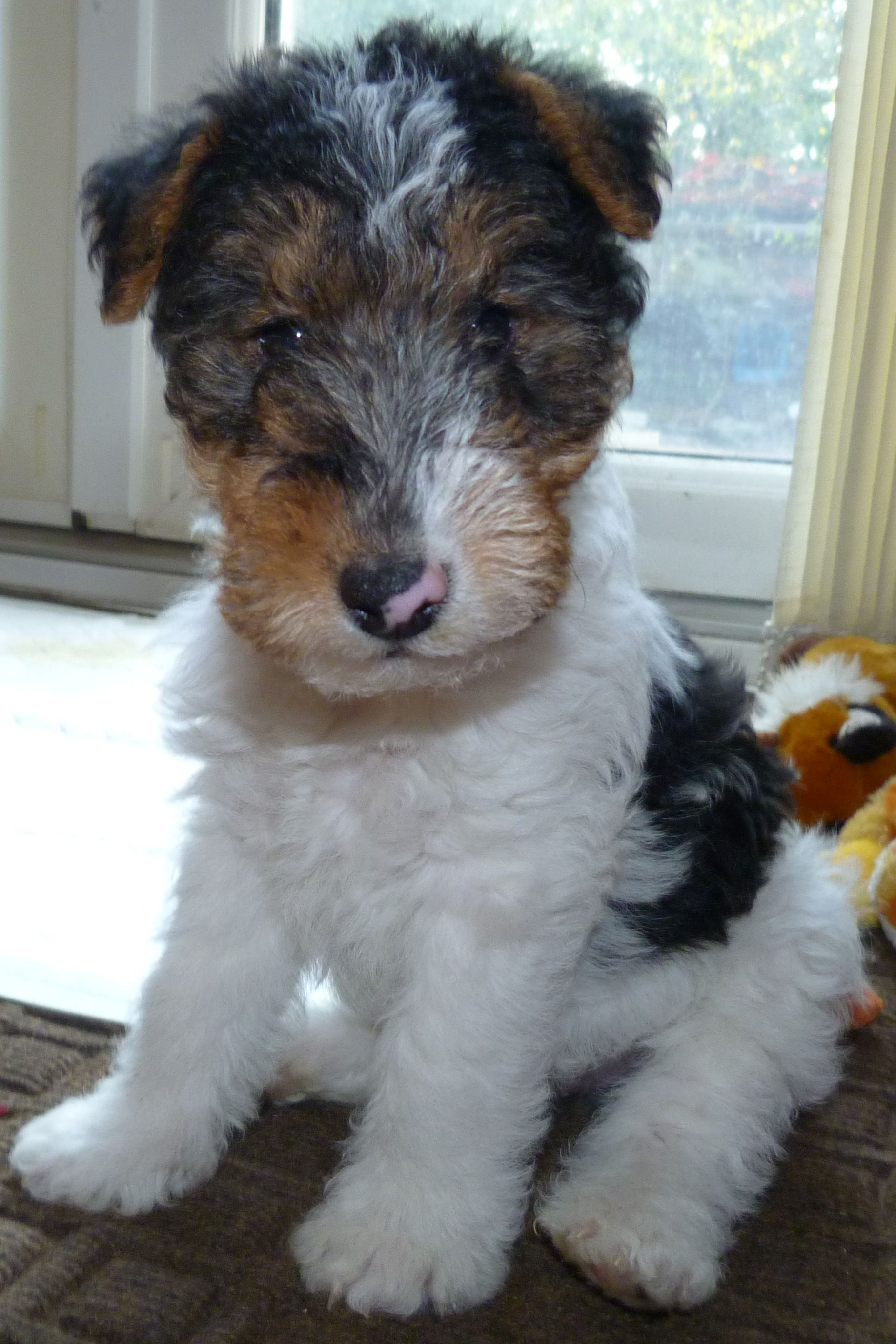 25 Wire Fox Terriers Ideas Wire Fox Terrier Fox Terrier Wirehaired Fox Terrier