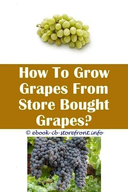 Terrific Clever Tips Concord Grape Trellis how to grow red wine grapesHow To 8 Terrific Clever Tips Concord Grape Trellis how to grow red wine grapesHow To Grow A Grape V...