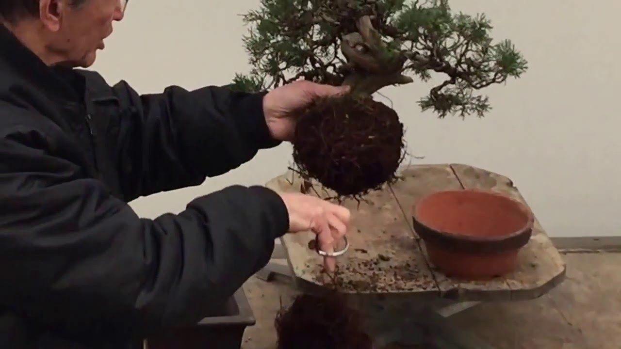 Bonsai Tree Repotting Tutorial Peter Chan Bonsai Tree Large