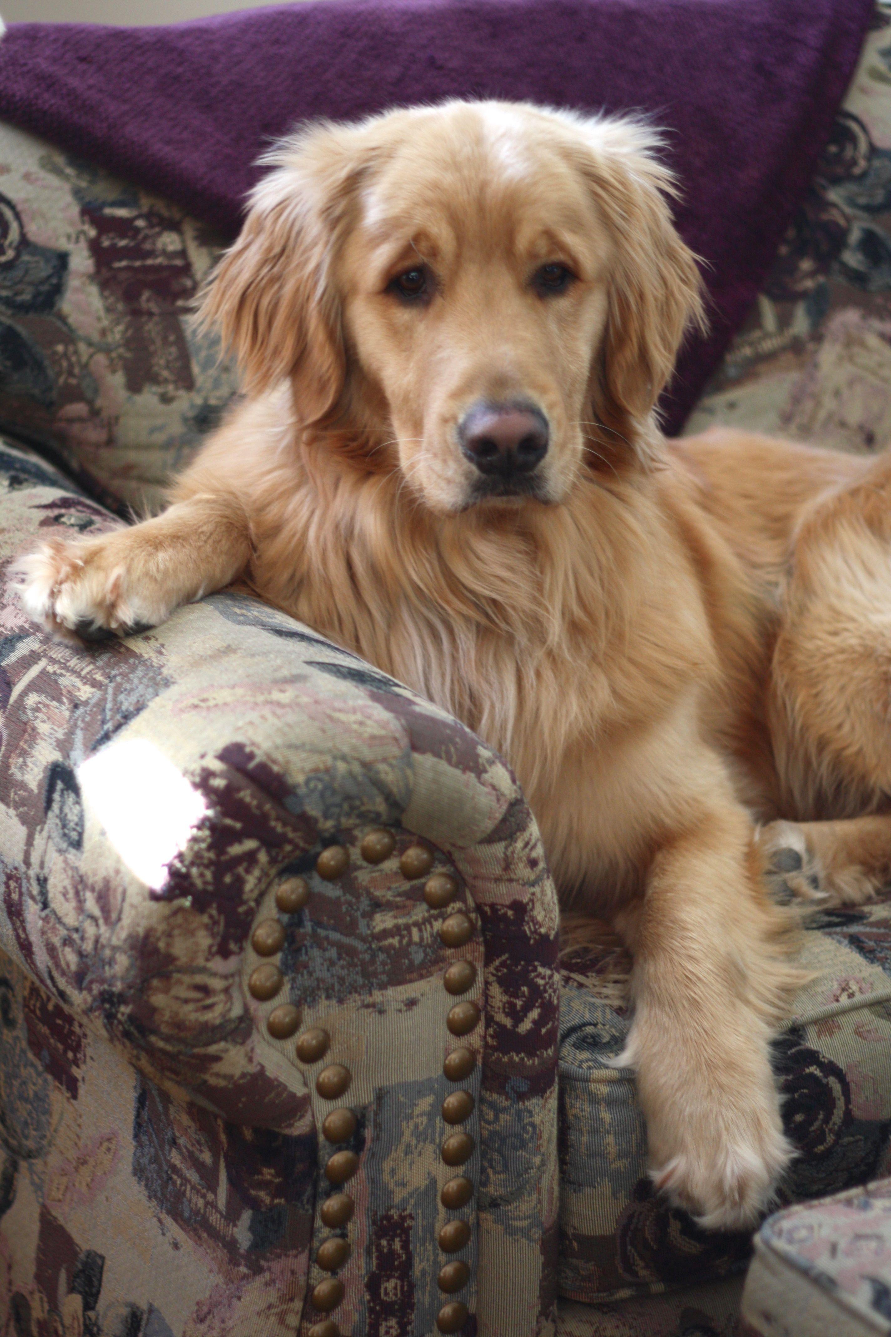 Who Me Off The Furniture Golden Goldenretriever Dog