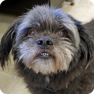 Shih Tzu Keeshond Mix Dog For Adoption In Sprakers New York Fred Shih Tzu Dogs Dog Adoption