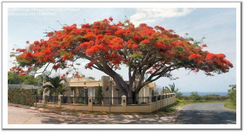 Royal Poinciana Flamboyant Tree Flame