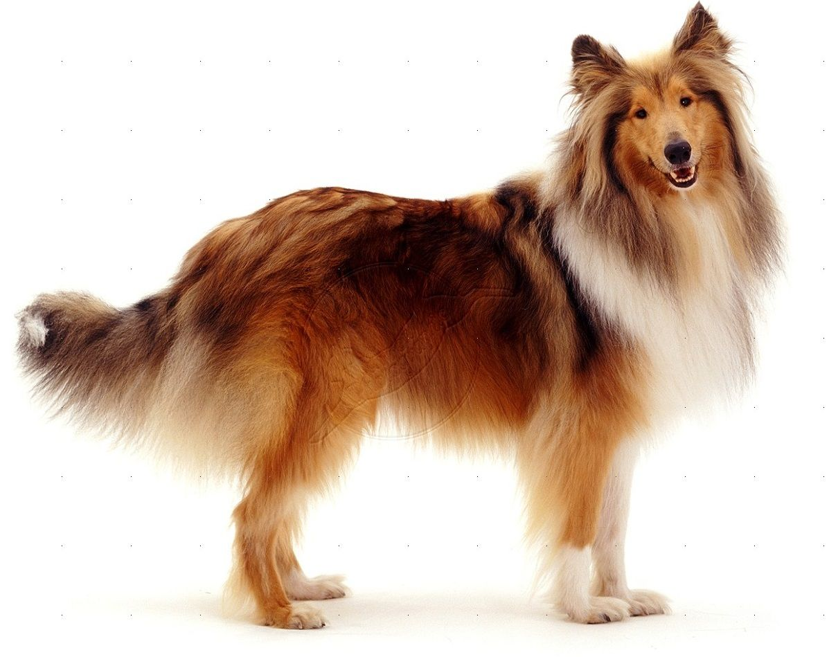 Rough Collie Rough Collie Collie Dogs