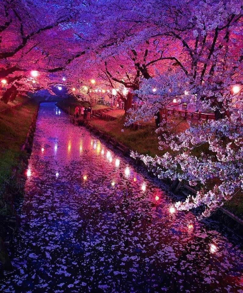 Japan S Cherry Blossom Season Is Starting So Beautiful Travel Trip Traveling Spring Travelph Cherry Blossom Japan Japan Photo Cherry Blossom Wallpaper Cherry blossom night anime wallpaper