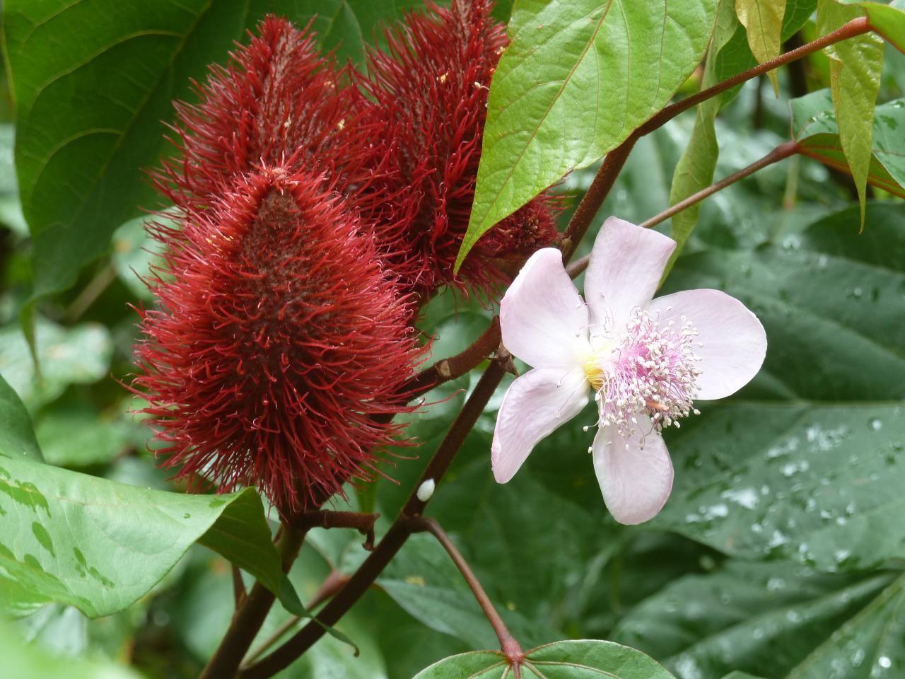 roucou. guyane | fleurs insolites ! . . . | fleurs, fleurs exotiques