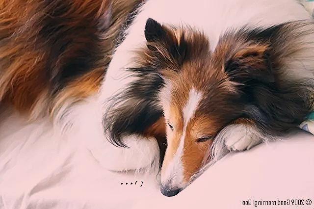 Puppies Collie