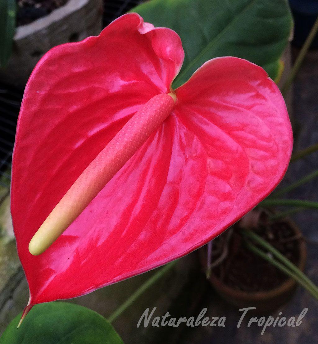 Inflorescencia caracter stica de los anturios m s comunes for Plantas ornamentales mas comunes
