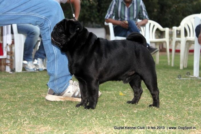 Black Pug In Dog Show For More Pictures Visit Www Dogspot In