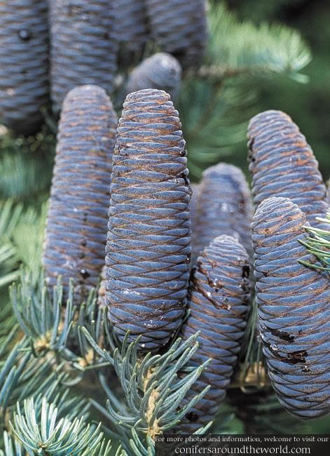 Abies Concolor With Blue Cones Conifers Around The World Conifer