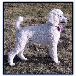Perry A White Standard Poodle Puppy For Sale Sunridgepoodles