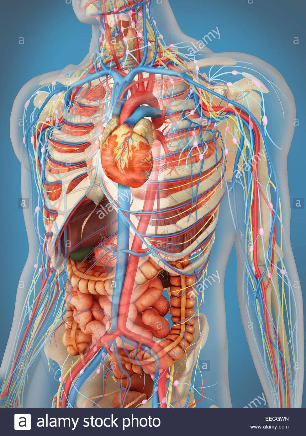 Transparent Human Body Showing Heart And Main Circulatory System Position Eecgwn Anatomía Del Esqueleto Humano Cuerpo Humano Anatomia Tejidos Del Cuerpo Humano
