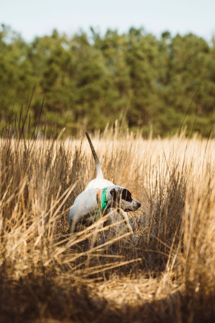 Gentleman Bobwhite Quail hunting, Pheasant hunting