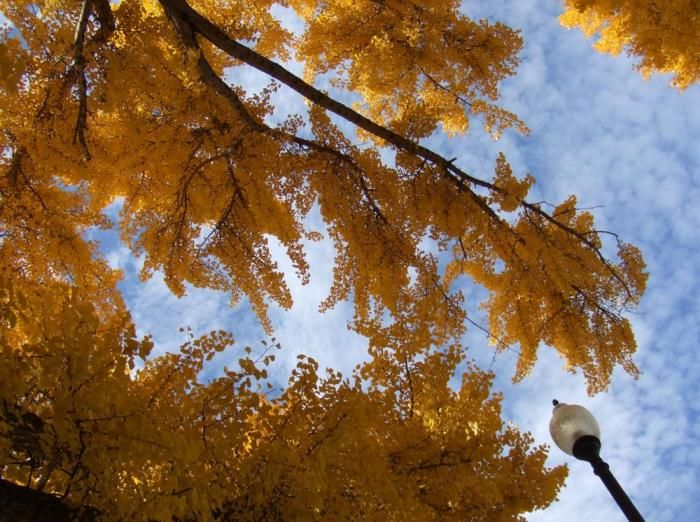 Ginkgo Biloba Thrives In The Santa Ana Heat And Smog Of Southern California No Pests Bot Drought Resistant Trees Landscaping Trees Drought Tolerant Landscape