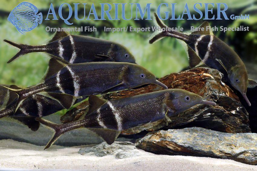 Gnathonemus Petersii Peters Elephantnose Fish Aquarium Glaser Gmbh Rare Fish Aquarium Fish Fish