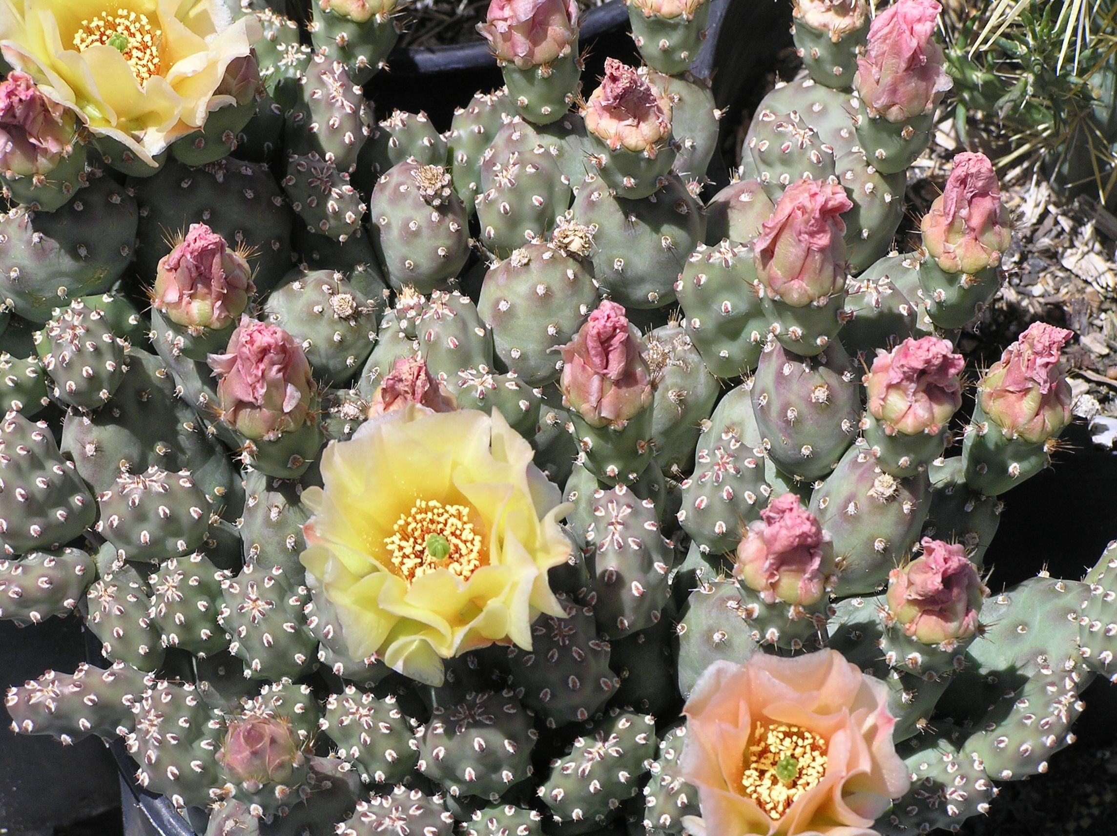 Opuntia Fragilis Grey Mound Brittle Prickly Pear This Is A Low
