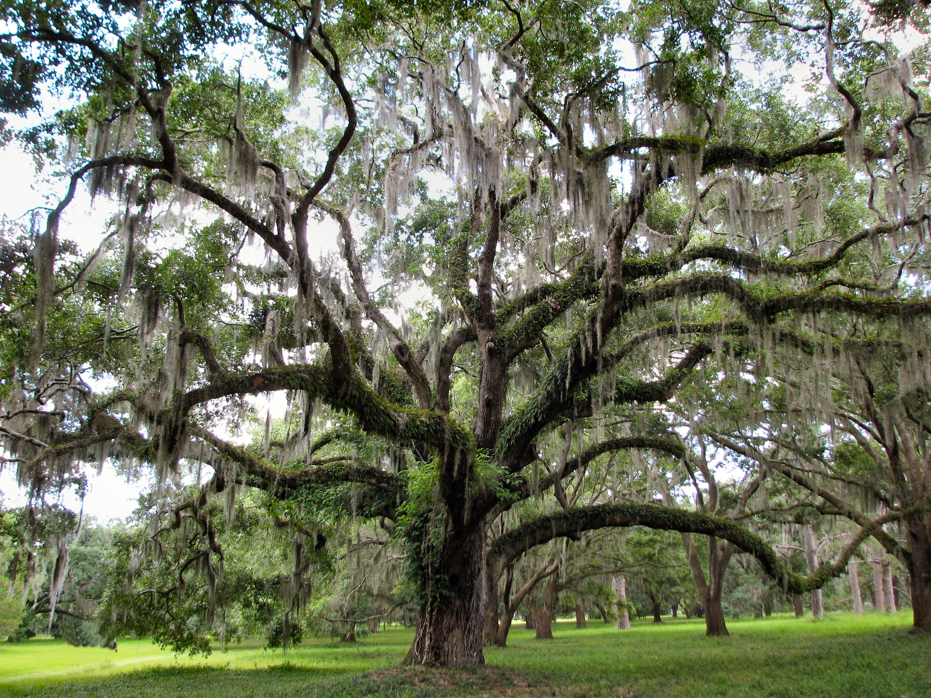 One Reason I M In Thrall To Georgia The Live Oak The