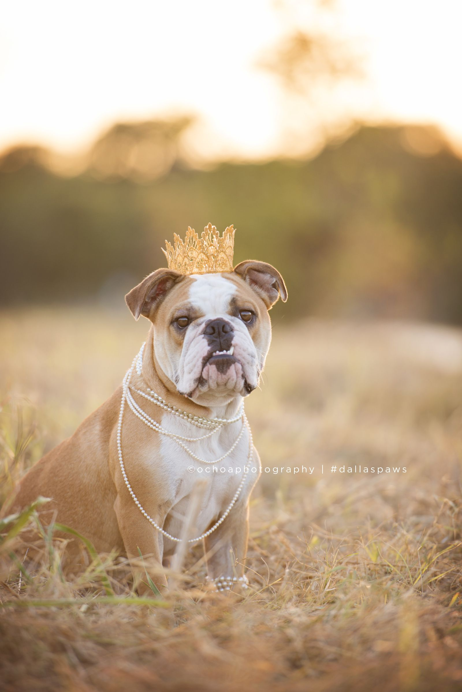 Ochoa Photography Blog Dallas Dog Photographer Bulldog Cake
