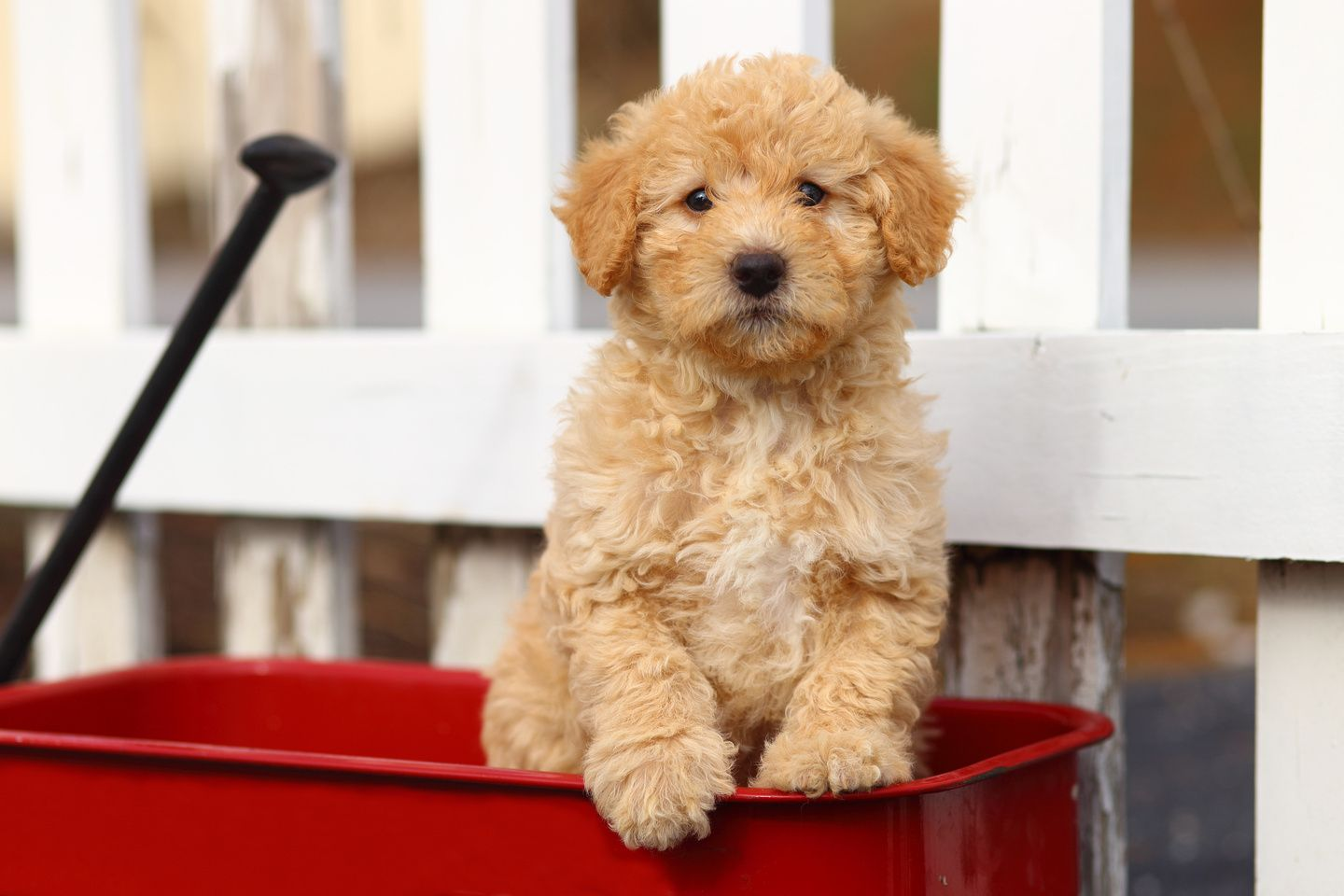 Labradoodles Mini Labradoodle Puppy In Red Wagon Labradoodle Puppy Labradoodle Puppies For Sale Greenfield Puppies