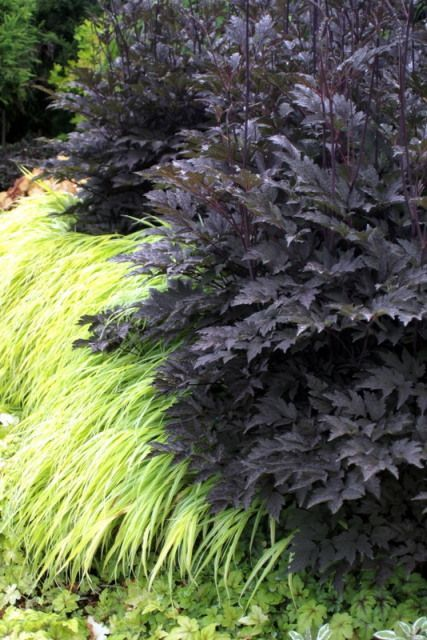 Actaea 'Black Negligee' with the Japanese forest grass Hakonechloa macra 'All Gold'