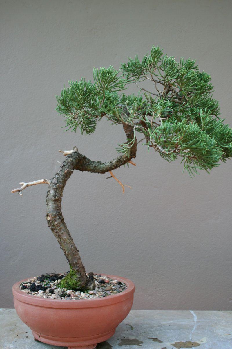 Juniper Bonsai After Wiring Flickr Photo Sharing Diagrams Tree Informal Pinterest