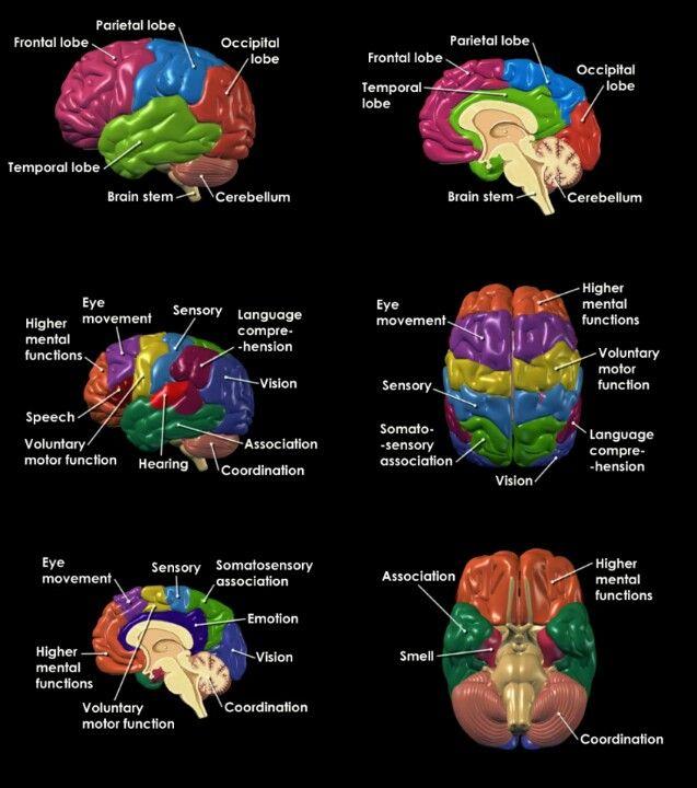 Science Facts Brain: Brain Anatomy, Brain Structure, Brain Facts