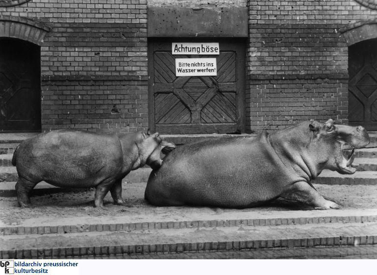 Stunning The hippo Knautschke was born in the Berlin Zoo in May and grew up to